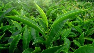 На Кубани выводят сорта чая, устойчивые к низким температурам