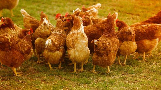 В России зарегистрирован первый заразившийся птичьим гриппом