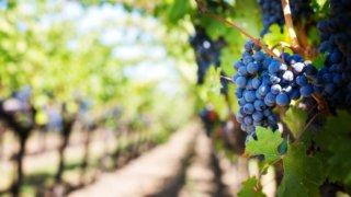 Председатель ЗСК Юрий Бурлачко рассказал о перспективах развития виноделия на Кубани